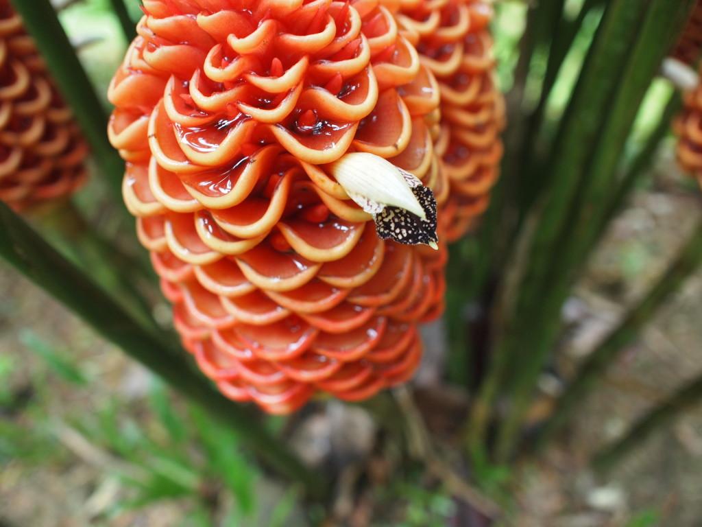 パンガー・熱帯植物タラー