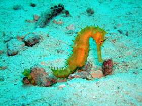 diversblog-seahorse
